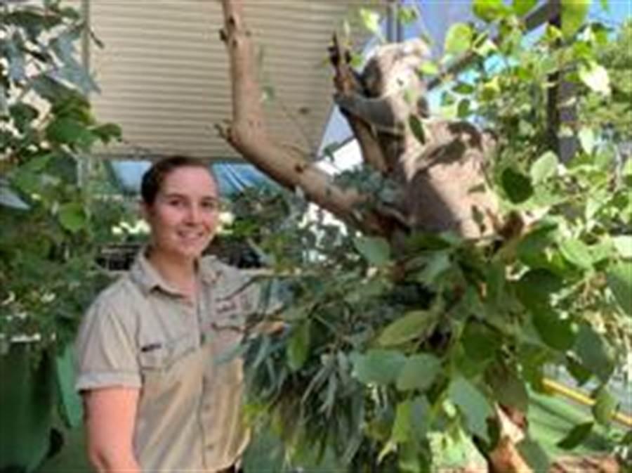 澳洲新南威爾斯州無尾熊恐在2050年前絕種(路透)