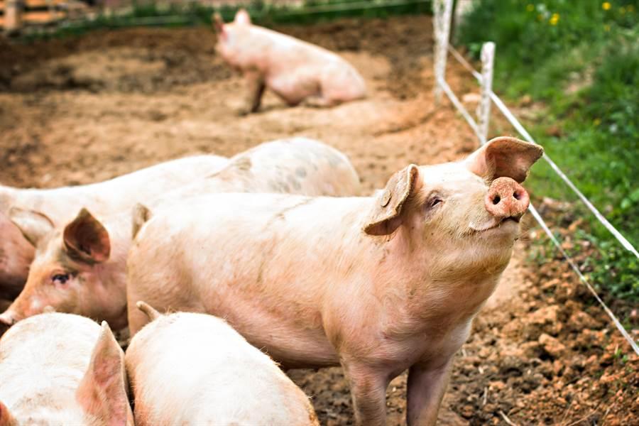 大陸今年前5個月新增超過6萬家豬養殖企業。(shutterstock)