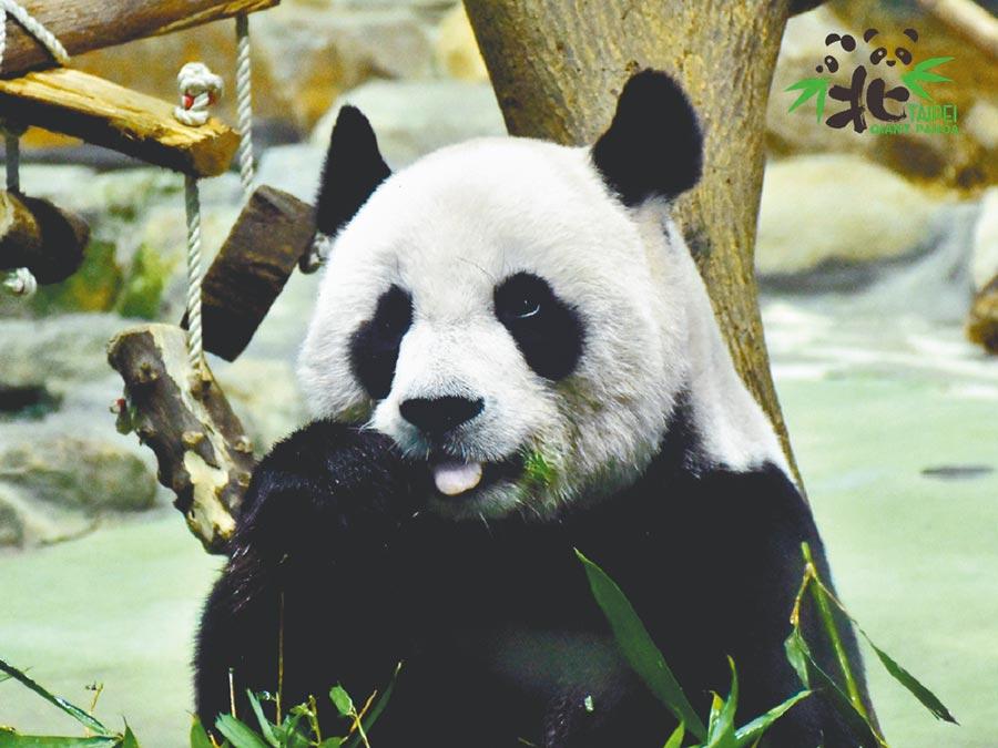 台北市立動物園大貓熊「圓圓」,6月28日順利產下第2胎,動物園將再掀起貓熊熱潮。(台北市立動物園提供/游念育台北傳真)