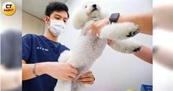 毛小孩經濟2/從美國紅回亞洲 寵物也能針灸把脈