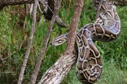 後院除草100公斤巨蟒突探頭 翻出40顆蛇蛋嚇傻