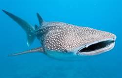 太驚人!世界最大鯊魚私密曝光 眼球上全是牙齒