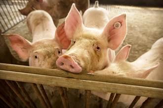 小心了!佛奇曝:陸新型豬流感有2大可怕流行病毒影子