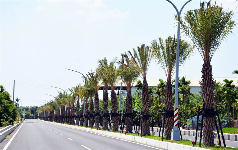 屏縣府在重要道路透過椰科植物取代過去電桿,營造南國與夏季繽紛風情,打造屏東慢活城市的地標。(林和生攝)