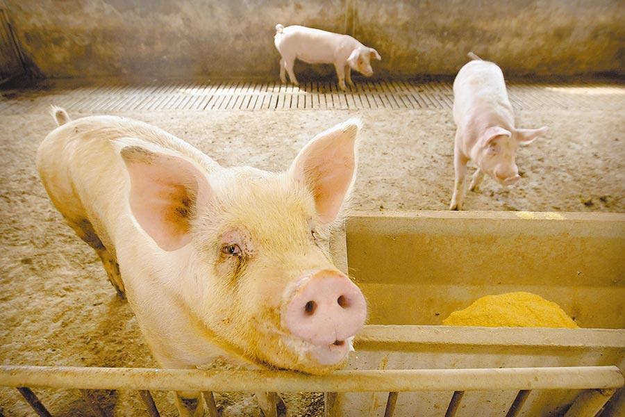中國研究人員發現一種新型豬流感名為G4,帶有「會高度適應以感染人類的一切重要特徵」,一旦突變,可能出現人傳人,引發全球大流行。(美聯社)