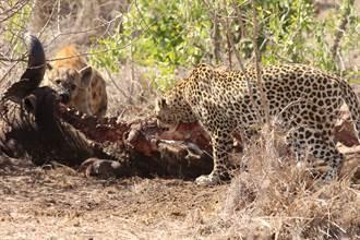 花豹與鬣狗罕見共享屍體  下秒劇情神展開