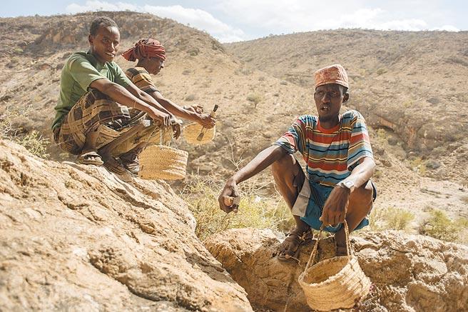 索馬利蘭資源豐富,但目前不被任何國家承認,圖為當地民眾採集精油原料。(美聯社)