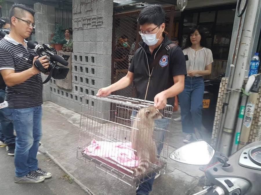 浣熊已遭沒入,帶回動物之家保管照顧。(圖/摘自許淑華臉書)