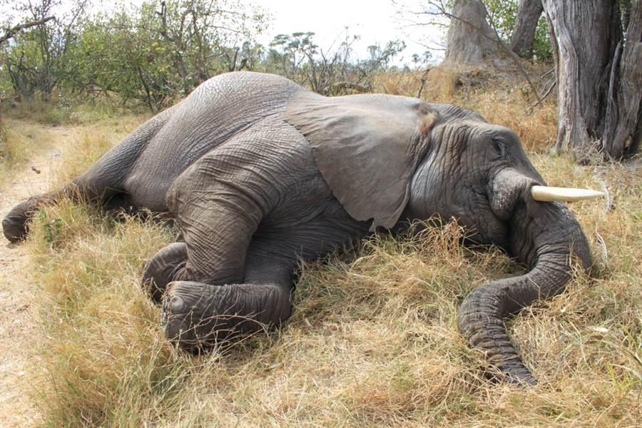 非洲波札那驚傳將近350頭大象竟離奇集體死亡事件,目前已排除是盜獵或乾旱,但並不排除是集體中毒或染病。(示意圖/達志影像)