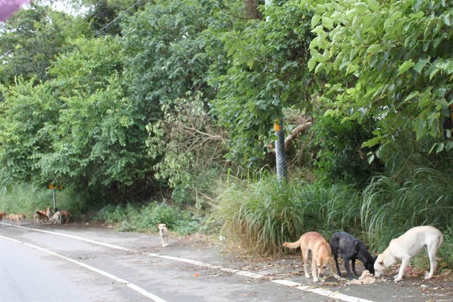 彰化市寶山路因路邊直接連塑膠袋丟食餵養,流浪狗成群結隊,也造成環境髒亂,怎麼讓這些「愛爸愛媽」,進行乾淨餵養是重要的課題。(吳敏菁攝)
