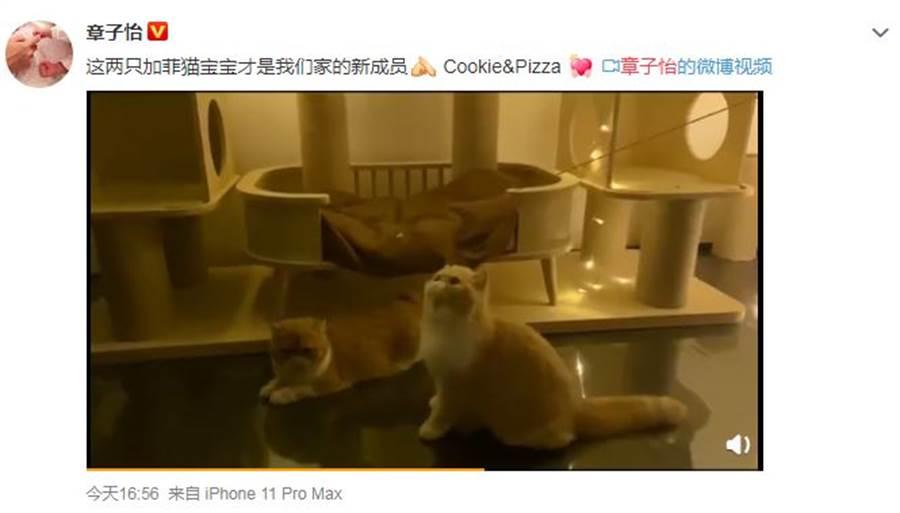 章子怡曬家裡新成員,是2隻小貓。(圖/翻攝自微博)
