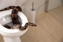 馬桶底部蛇探出頭狂吐信 他嚇到彈開不敢坐