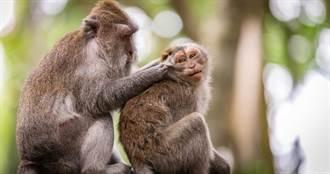 獼猴染新冠肺炎28天內產生抗體 北京研究:短期內不會再次染疫