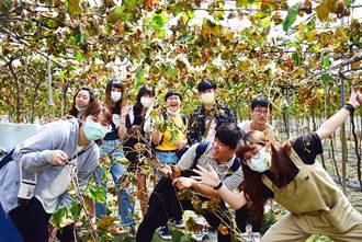 葡萄藤枝大變身 朝陽助農村發展亮點