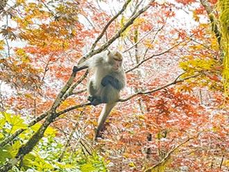太平山防猴害 籲勿餵食
