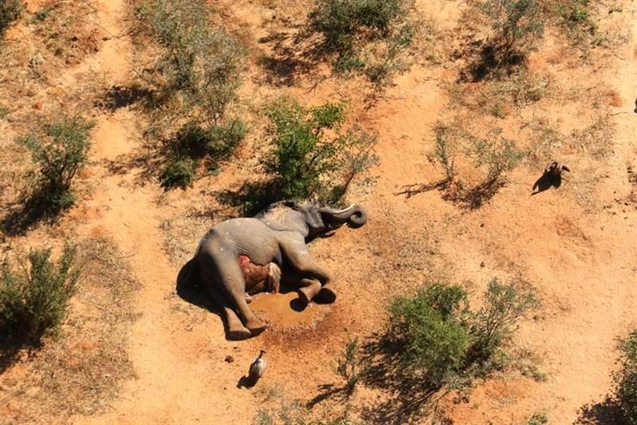 CNN報導指出,非洲國家波札那最近發現超過350頭大象神秘死亡,有人懷疑和新冠病毒有關。(路透)