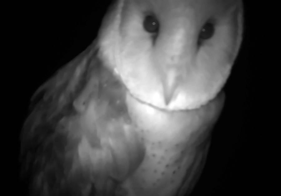 屏東林管處與屏科大合作於田間架設老鷹棲架,竟意外拍到稀有的一級保育鳥類草鴞。(屏東林管處提供/林和生屏東傳真)