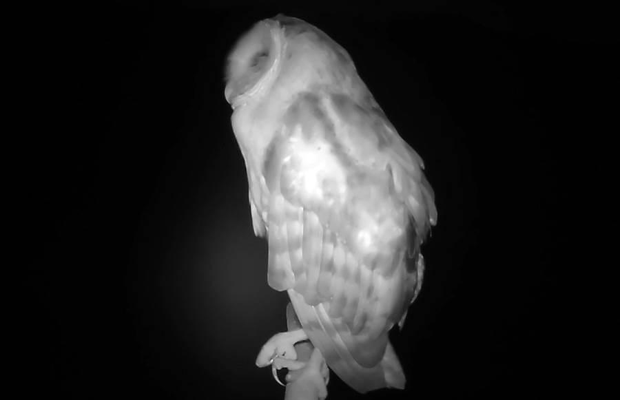 屏東林管處與屏科大合作架設老鷹棲架,首度透過紅外線自動相機拍到草鴞身影。(屏東林管處提供/林和生屏東傳真)