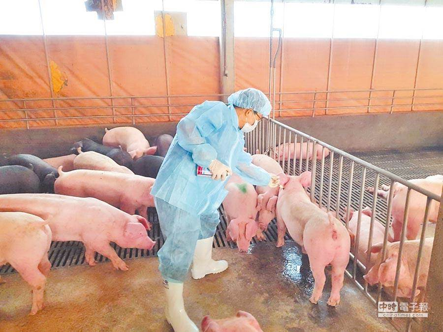 防檢局表示,2016年、2019及2020年分離出的3株豬流感病毒株檢驗結果出爐,已排除是新型豬流感。(本報資料照)