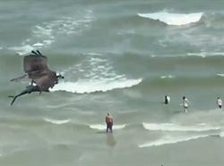 海灘天空驚見「巨鳥抓大魚」 網驚呆猜:是鯊魚!