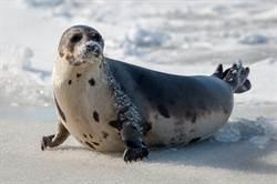 海豹天天游泳為何瘦不下來?身體密碼曝光