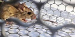 巨大老鼠吊死天花板 驚悚照片曝網嚇:確定是老鼠?