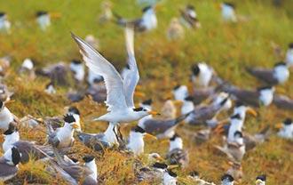 神話之鳥 現身澎湖保護區