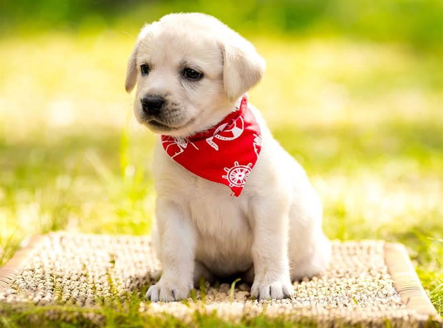 新研究發現,幼犬成熟的速度飛快,基因證據顯示,1歲的小狗相當於30歲的成人。(達志影像/Shutterstock)