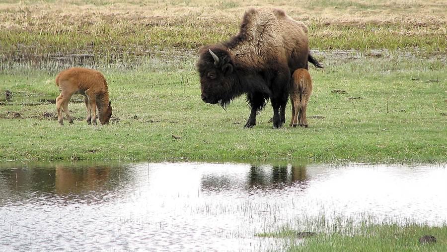圖為黃石公園裡的野牛(圖片取自/美聯社)