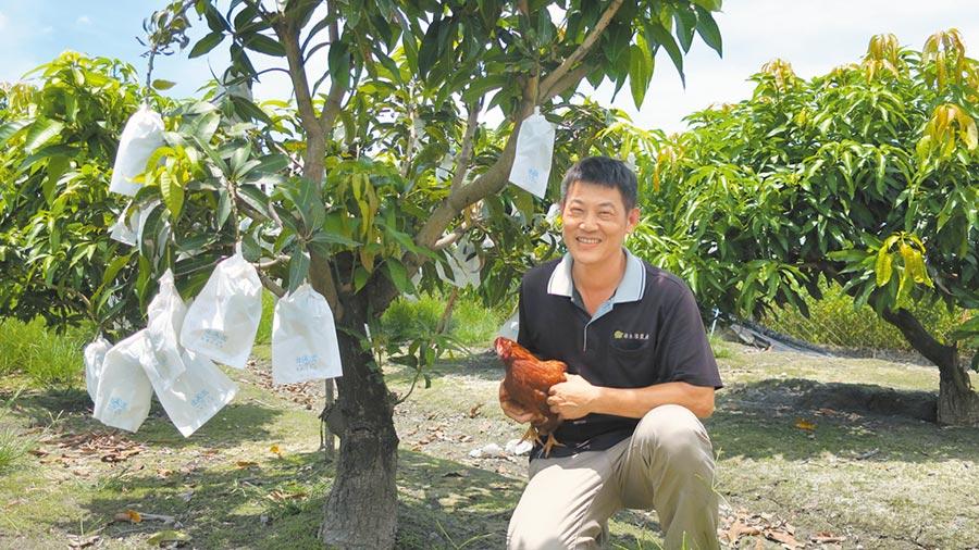 曾明治在芒果園裡放養蛋雞,讓雞隻健康奔跑自然產蛋,放牧蛋行銷全台農會和有機通路,金蜜芒果更是全縣唯一獲得興大有機認證。(謝瓊雲攝)