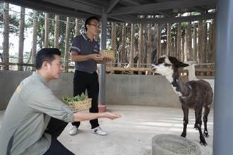 羊駝兄弟做客竹市動物園 來找咖啡、牛奶在哪裡