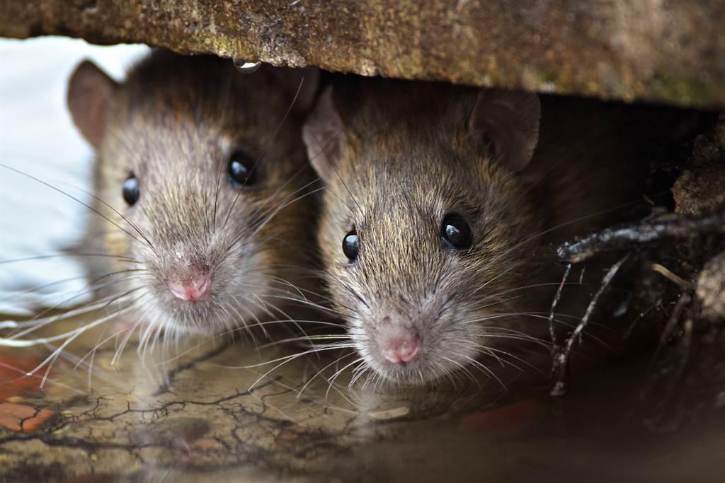 俄專家稱大陸蒙古是疫疫天然疫區,主要感染方式也是因為食用旱獺、黃鼠等囓齒類動物而來。(圖/Shutterstock)