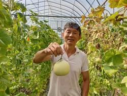種高級有機香瓜 瓜農開冷氣與瓜同眠