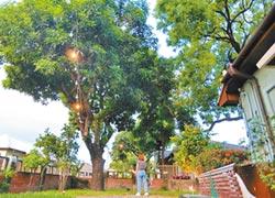 守護老樹 屏東勝利星村打造城市之肺