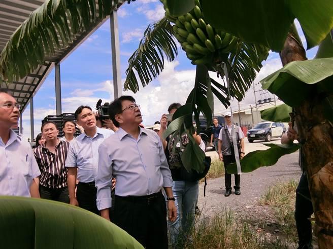 屏东县政府与产学合作推动「筑城计画」,透过科技发展智慧农业,在香蕉园里装设仪器,将数据建立标准化模组,县长潘孟安(中)也到园中了解。(潘建志摄)