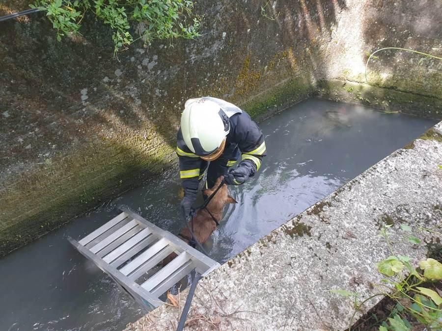 富源分隊消防隊員蘇偉程帶著裝備救援小黃,並採吊掛方式將狗救上岸。(消防富源分隊提供/羅亦晽花蓮傳真)