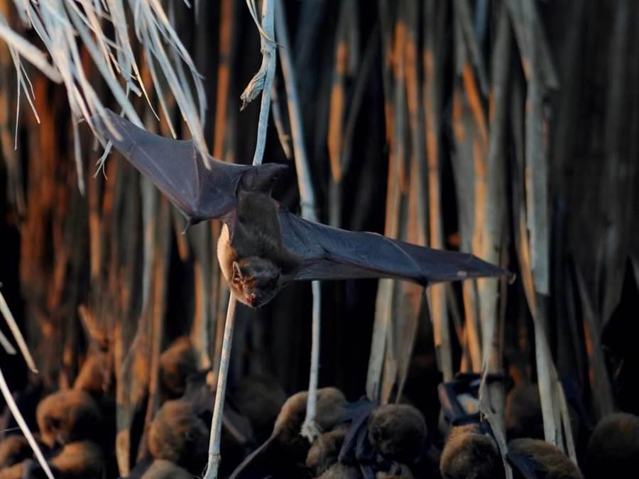 嘉義縣東石鄉鰲鼓溼地森林園區夏天可見高頭蝠出沒。(林務局嘉義林區管理處提供/張毓翎嘉義傳真)
