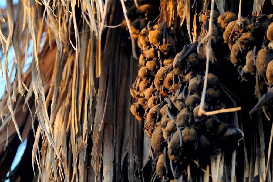 成群的高頭蝠倒掛在樹上。(林務局嘉義林區管理處提供/張毓翎嘉義傳真)