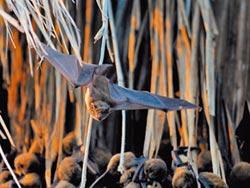 蝠氣來了 高頭蝠現蹤鰲鼓溼地