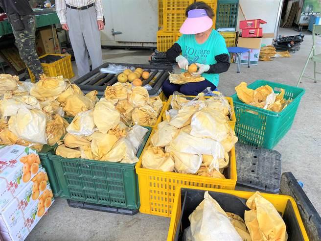 豐水梨7月起盛產,果農忙著挑選果品出貨。(巫靜婷攝)