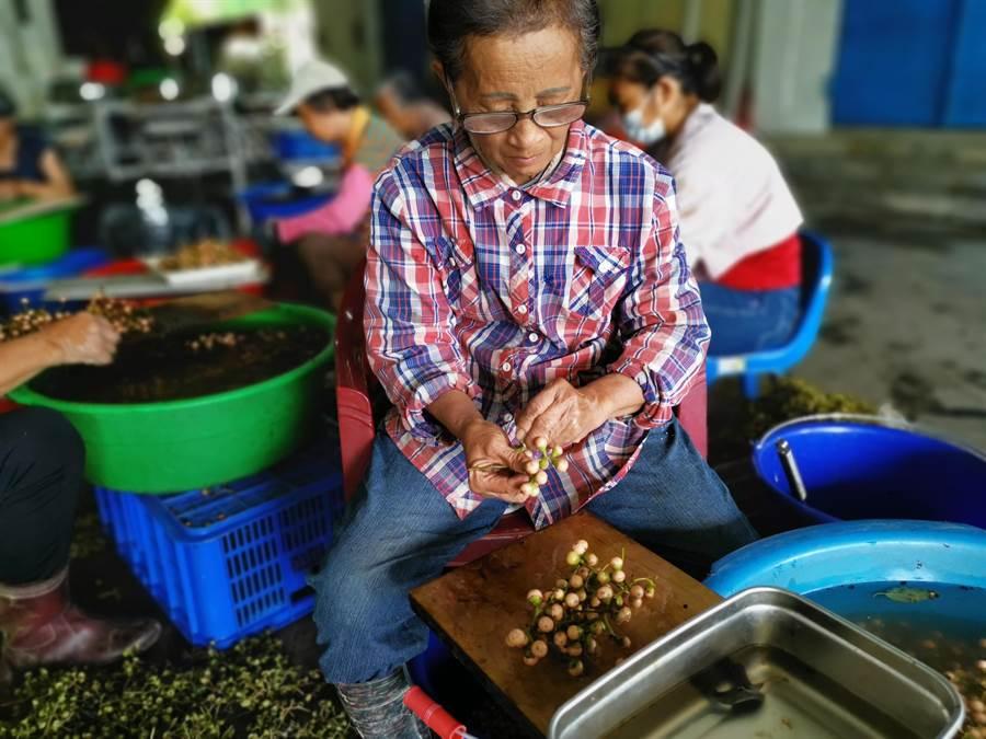 台南市左鎮區收購在地農民種植的破布子,以大鍋煮兩小時後再裝到磁碗裡冷卻定型成丸狀,真空包裝後送冷凍,非常搶手。(劉秀芬攝)