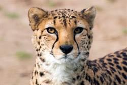 5獵豹捕獵圍攻羚羊 完食後血面具怵目驚心