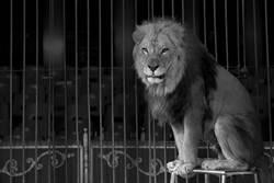 在籠中與老虎搏鬥8年供觀賞 獅子夫妻終獲自由重返野外