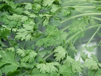 香菜很快就發黑?內行4步驟保鮮 2個月仍新鮮翠綠