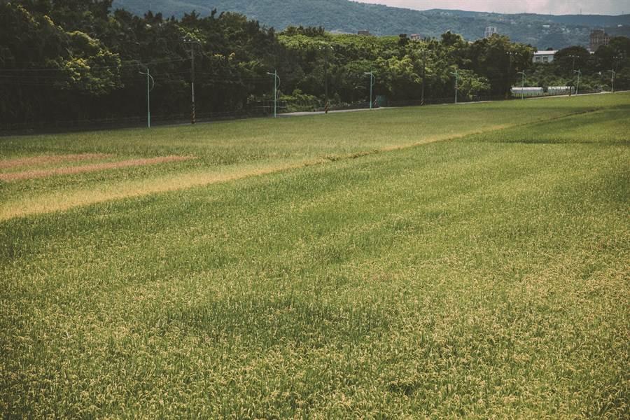 走入台北田野間,感受稻作的數大即美。(圖/台北畫刊提供、莊智淵攝)