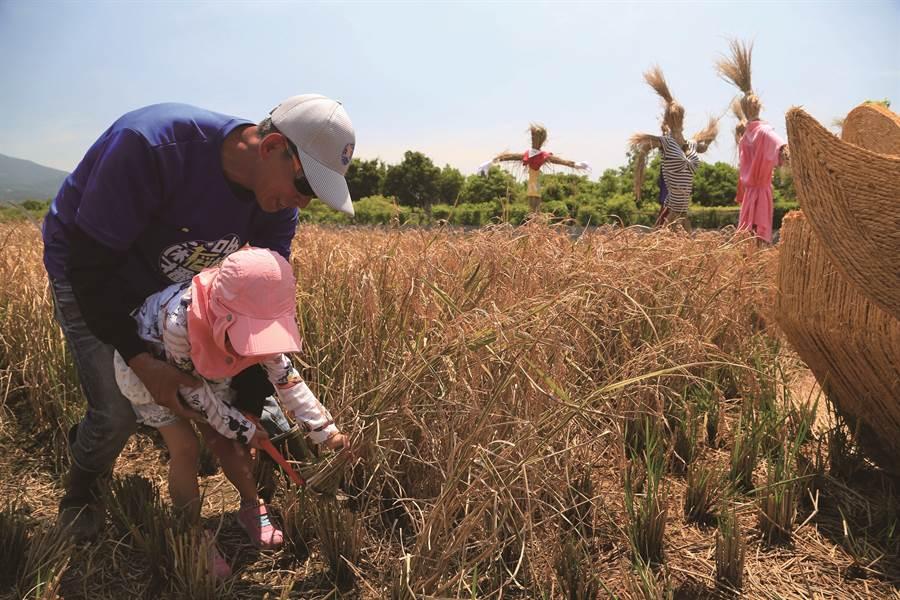 每到7 月,關渡平原稻作結穗呈現一片金黃,台北市產業發展局與北投區農會便會舉辦活動讓民眾參與收割。( 圖/台北市產業發展局)