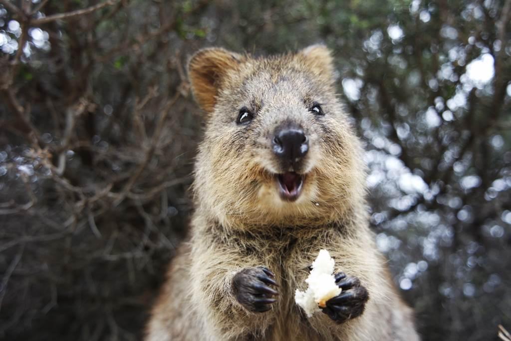 澳洲短尾矮袋鼠示意圖。(圖/達志影像)