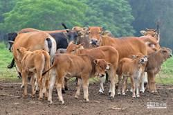 台灣發生首例牛結節疹 農委會:23頭確診金門牛已撲殺