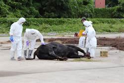 金門爆發牛結節疹疫情 民眾感嘆「歹年冬」