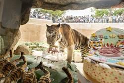 雙胞胎虎虎15歲 竹市動物園端上肉塊冰蛋糕